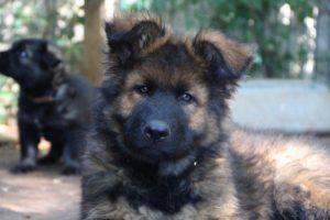 altdeutscher schaferhund0137