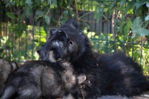 altdeutscher schaferhund0144