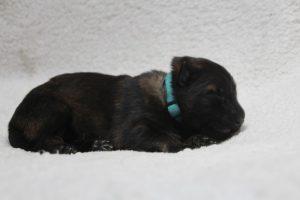berger-allemand-ancien-type-comme-chiens-et-loups0044