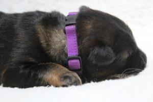 berger-allemand-ancien-type-comme-chiens-et-loups0053