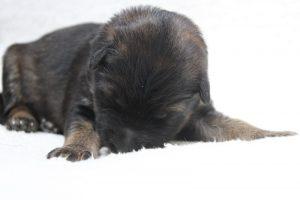 berger-allemand-ancien-type-comme-chiens-et-loups0054