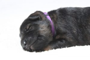 berger-allemand-ancien-type-comme-chiens-et-loups0064