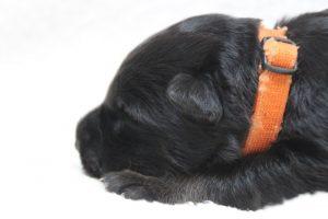 berger-allemand-ancien-type-comme-chiens-et-loups0070