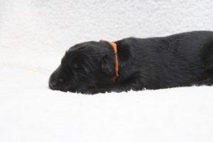 berger-allemand-ancien-type-comme-chiens-et-loups0075