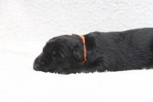 berger-allemand-ancien-type-comme-chiens-et-loups0076