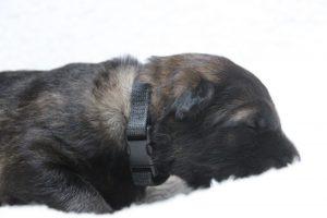 berger-allemand-ancien-type-comme-chiens-et-loups0077