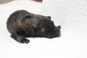 berger-allemand-ancien-type-comme-chiens-et-loups0084