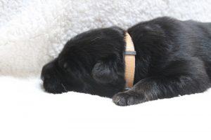 berger-allemand-ancien-type-comme-chiens-et-loups0089