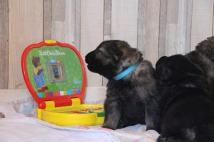 comme chiens et loups altdeutscher schaferhund0033