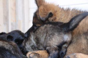 comme chiens et loups altdeutscher schaferhund0043