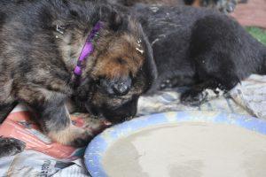 comme chiens et loups altdeutscher schaferhund0111