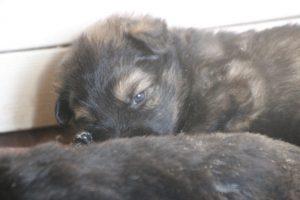comme chiens et loups altdeutscher schaferhund0136