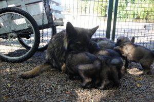 comme-chiens-et-loups0006