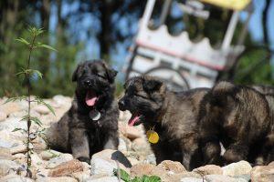 comme-chiens-et-loups0011