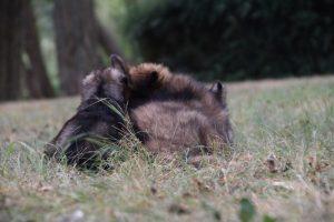 comme chiens et loups0021