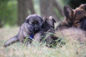 comme chiens et loups0023