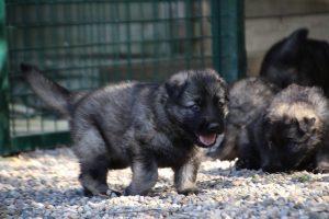 comme-chiens-et-loups0025