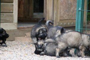 comme chiens et loups0026