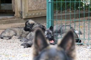 comme chiens et loups0030