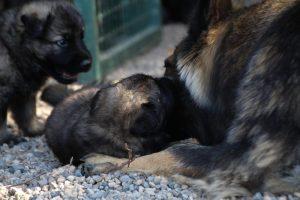 comme-chiens-et-loups0040
