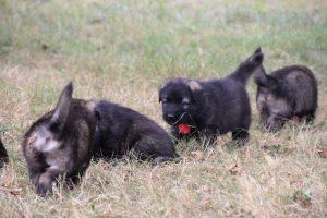 comme chiens et loups0045