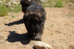 comme-chiens-et-loups0056
