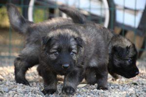comme-chiens-et-loups0057