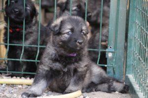 comme-chiens-et-loups0071