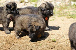 comme-chiens-et-loups0072
