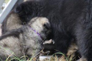 comme chiens et loups0073