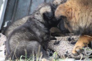 comme chiens et loups0090
