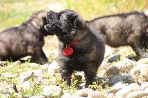 comme-chiens-et-loups0108