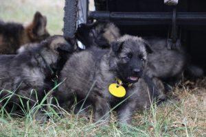 comme chiens et loups0122