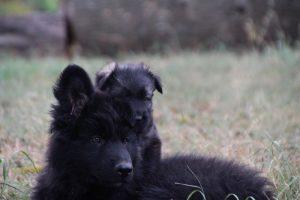 comme chiens et loups0125