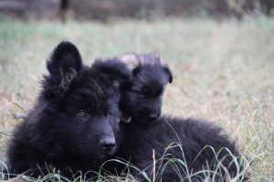 comme chiens et loups0128