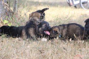 comme chiens et loups0141
