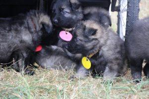 comme chiens et loups0145
