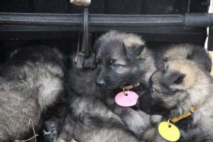 comme chiens et loups0146