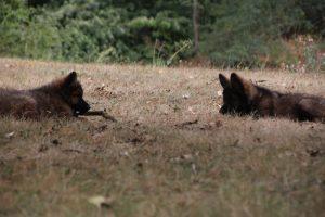 comme chiens et loups0156