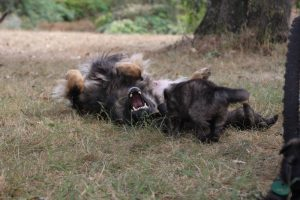 comme chiens et loups0159