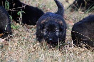 comme chiens et loups0165
