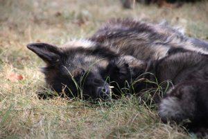 comme chiens et loups0166