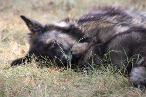 comme chiens et loups0167