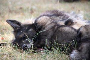 comme chiens et loups0168