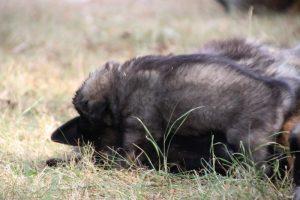 comme chiens et loups0169