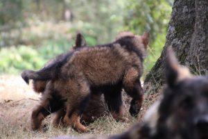 comme chiens et loups0175