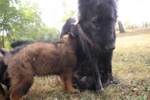 comme chiens et loups0183