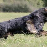 altdeutscher-schaferhunde-avalon-of-empire