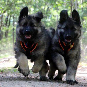 altdeutsche schaferhunde en harnais julius k9 de chez croq.fr