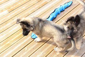 IMG_7922altdeutcher schaferhund